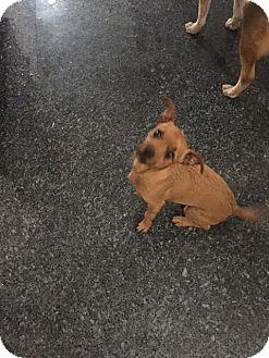 Miniature Pinscher/Cairn Terrier Mix Dog for adoption in Fullerton, California - Piston
