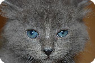 Russian Blue Kitten for adoption in Whittier, California - Ron