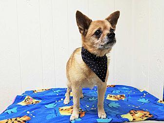 Chihuahua Mix Dog for adoption in Tavares, Florida - Montana
