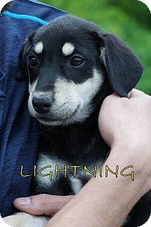 Labrador Retriever Mix Puppy for adoption in Middleton, Wisconsin - Lightning