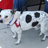 Adopt A Pet :: Cowboy - Umatilla, FL