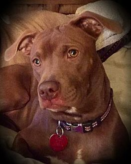 Boxer/Whippet Mix Dog for adoption in Quinlan, Texas - Saige Mae
