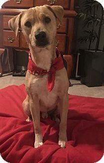 Labrador Retriever Mix Dog for adoption in Houston, Texas - Houdini