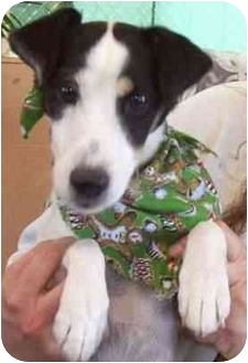 Jack Russell Terrier Dog for adoption in Las Vegas, Nevada - Herbie