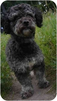 Poodle (Miniature)/Bichon Frise Mix Dog for adoption in Calgary, Alberta - Mister