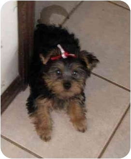 Yorkie, Yorkshire Terrier Puppy for adoption in Conroe, Texas - Juliet