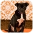 Photo 3 - Boston Terrier/Pit Bull Terrier Mix Puppy for adoption in Portland, Oregon - Tim