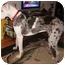 Photo 4 - Great Dane Dog for adoption in Hanover, Maryland - Otis