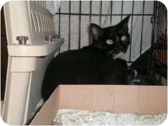 Domestic Mediumhair Cat for adoption in Roseville, Minnesota - Barbara Ann