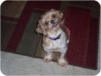 Shih Tzu Dog for adoption in Hillsville, Virginia - Belle
