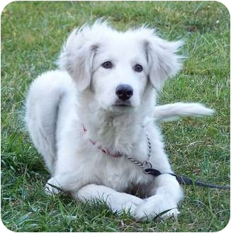 Great Pyrenees Puppy for adoption in Milford, New Jersey - Mayzie