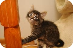 Domestic Longhair Kitten for adoption in Milwaukee, Wisconsin - Kodiak - In Foster Care