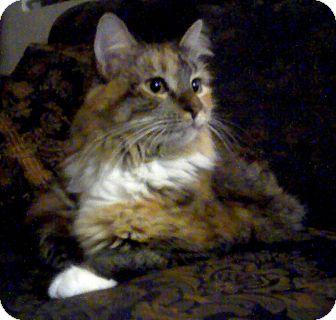 Maine Coon Cat for adoption in Acworth, Georgia - BELLA