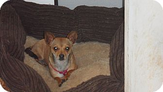 Chihuahua/Dachshund Mix Dog for adoption in Seattle, Washington - Lizzy