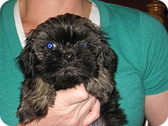 Shih Tzu Puppy for adoption in Salem, New Hampshire - Ju Long