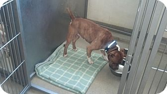 American Pit Bull Terrier Mix Dog for adoption in Wappingers Falls, New York - Harvey