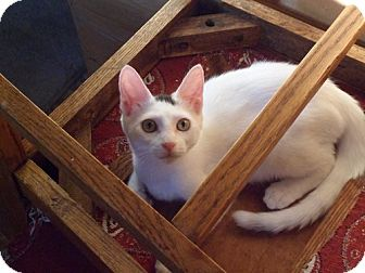 Domestic Shorthair Kitten for adoption in Norwich, New York - Ivory