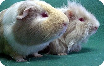 Guinea Pig for adoption in Lewisville, Texas - Jay and Zane