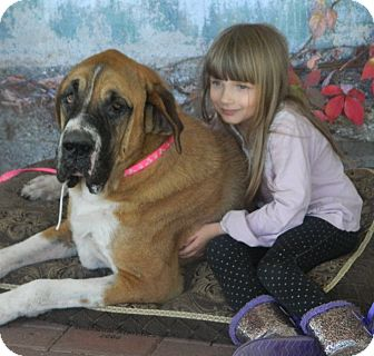 St. Bernard Mix Dog for adoption in Missouri City, Texas - Bernice