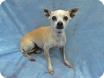 Chihuahua Mix Dog for adoption in Long Beach, California - Bowie