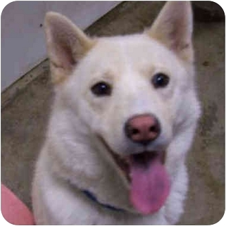 Siberian Husky Dog for adoption in Various Locations, Indiana - Paris