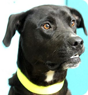 Labrador Retriever Mix Dog for adoption in Hardinsburg, Kentucky - RAVEN