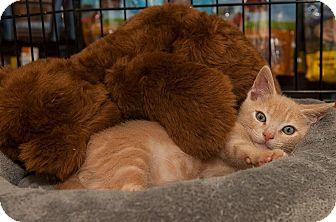 Domestic Shorthair Kitten for adoption in North Haledon, New Jersey - Spartan