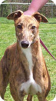 Greyhound Dog for adoption in Randleman, North Carolina - Chandler