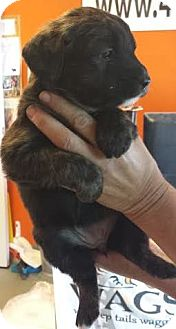 Australian Shepherd/Akita Mix Puppy for adoption in Westminster, California - Miss Rue Who