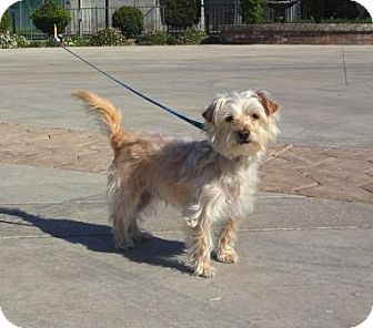 Maltese/Terrier (Unknown Type, Small) Mix Dog for adoption in Lathrop, California - Buddy