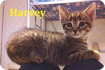 Domestic Shorthair Kitten for adoption in Huntsville, Ontario - Harvey - FTA April 2016