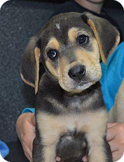 Australian Shepherd/Labrador Retriever Mix Puppy for adoption in Cranford, New Jersey - Denver