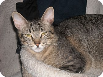 Domestic Shorthair Cat for adoption in Roseville, Minnesota - Luca