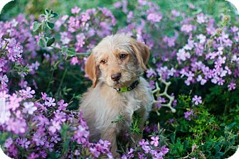 Goldendoodle Puppy for adoption in Auburn, California - Marley