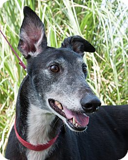 Greyhound Dog for adoption in Portland, Oregon - Stander