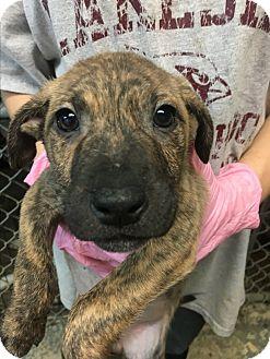 Labrador Retriever/American Bulldog Mix Puppy for adoption in Pompton Lakes, New Jersey - Emily's Puppies