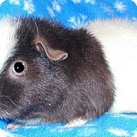 Adopt A Pet :: Bianca - Steger, IL