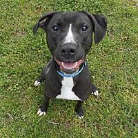 Adopt A Pet :: Addison - Huntsville, AL