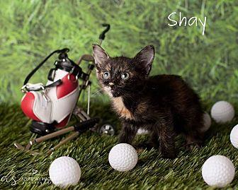 Domestic Mediumhair Kitten for adoption in Scottsdale, Arizona - Shay