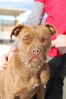 Boxer Mix Dog for adoption in Taos, New Mexico - Baby Girl