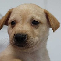 Adopt A Pet :: Wilson - Sassey's Puppy - Clear Lake, IA