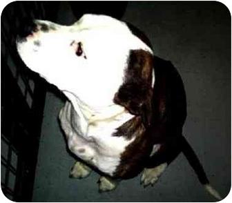 Pit Bull Terrier Mix Dog for adoption in Mt. Lebanon, Pennsylvania - Rags