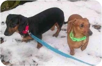 Dachshund Dog for adoption in Oak Ridge, New Jersey - Chloe