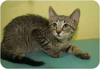Domestic Shorthair Kitten for adoption in Englewood, Florida - Pinot