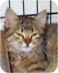 Maine Coon Kitten for adoption in Houston, Texas - Phoenix