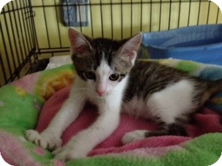 Polydactyl/Hemingway Kitten for adoption in Byron Center, Michigan - Paulie