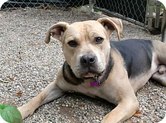 American Pit Bull Terrier/Boxer Mix Dog for adoption in Troy, Michigan - Whiskey