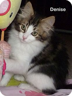 Domestic Mediumhair Kitten for adoption in Portland, Oregon - Denise