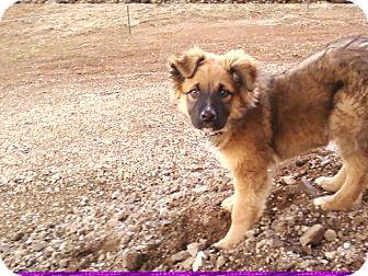 Australian Shepherd Mix Puppy for adoption in Pulaski, Tennessee - Kota - COURTESY POSTING