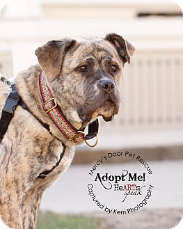 Mastiff/American Pit Bull Terrier Mix Dog for adoption in Medina, Ohio - Joplin